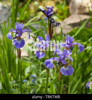 Purple iris flower - Stock Image