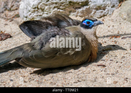 Giant coua (Coua gigas) sunbathing with fluffed up feathers and open wings, native to Madagascar, Africa - Stock Image