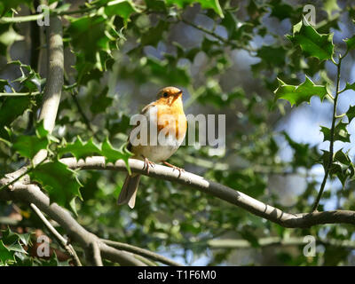 Cheeky Robin - Erithacus rubecula perched on a branch in the garden - Stock Image