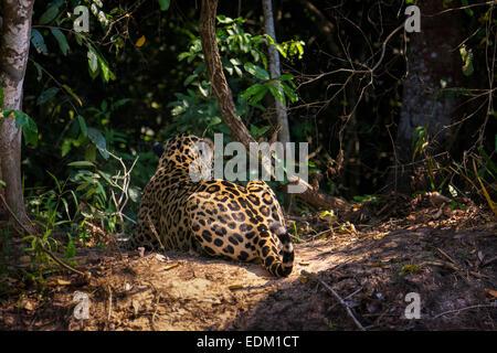 Rear View of the male Jaguar, Panthera onca, they call 'Mick Jaguar', Pantanal, Mato Grosso, Brazil, South - Stock Image