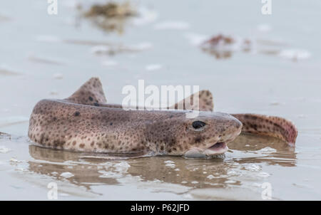 Dying fish out of water on sand on a beach waiting for the tide to come back in. Fish is still alive and managing to breathe through puddles. - Stock Image