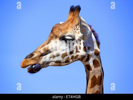 Close-up of Giraffe - Stock Image
