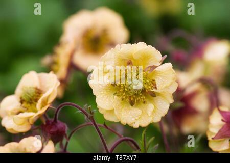 Geum 'Pineapple Crush' flowers. - Stock Image