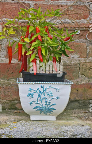Small ceramic container with growing Red Chillies - Stock Image