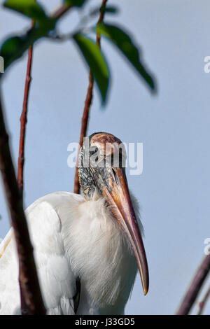 Adult Wood Stork stands amid branches and pond apple leaves with light blue sky. - Stock Image