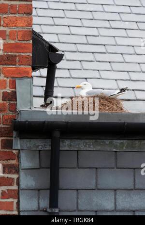 adult European Herring gull, Larus argentatus, sitting on nest on roof of  building, Whitby, North Yorkshire, United Kingdom, British Isles - Stock Image