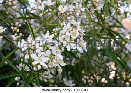 Choisya ternata. Mexican orange blossom flowers. - Stock Image