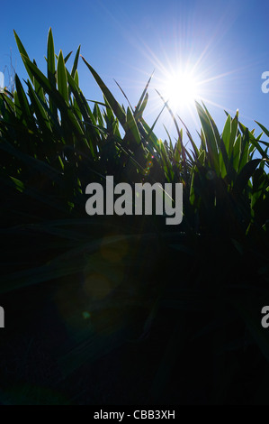 Close-up view of grass with blue sky - Stock Image