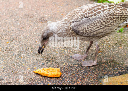 Seagull eating bread on street of the popular seaside town Southwold of the UK - Stock Image