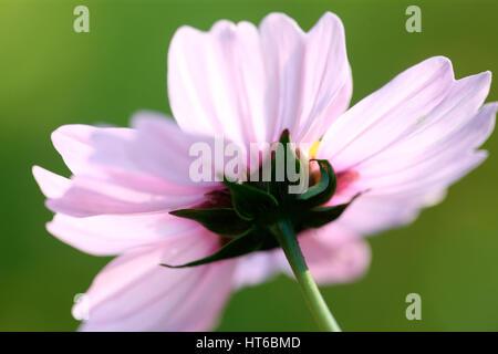 end of flowering season - cosmos sonata delicate pink flower early autumn sunlight Jane Ann Butler Photography JABP1863 - Stock Image