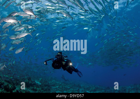 Scuba diver filming large school of Bigeye trevallies (Caranx sexfasciatus), Vaavu Atoll, Maldives - Stock Image
