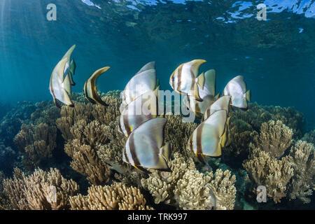 Shoal of Circular Batfish, Platax orbicularis, Lissenung, New Ireland, Papua New Guinea - Stock Image