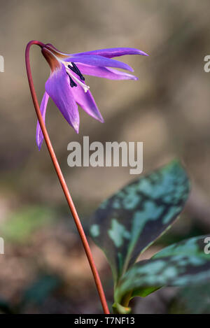 Dogtooth violet (Erythronium dens-canis), lily family (Liliaceae), Chancy, Canton of Geneva, Switzerland - Stock Image