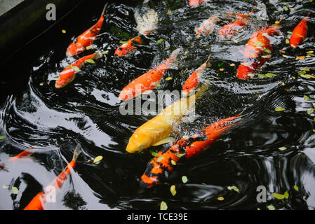 Close-up of Koi Carp fish swimming in a pond, Indonesia - Stock Image