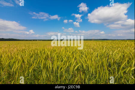 Corn field in the early summer - Stock Image