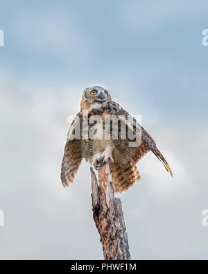 A juvenile female fledgling Great Horned Owl, Bubo virginianus, atop of a dead tree in Oklahoma, USA. - Stock Image