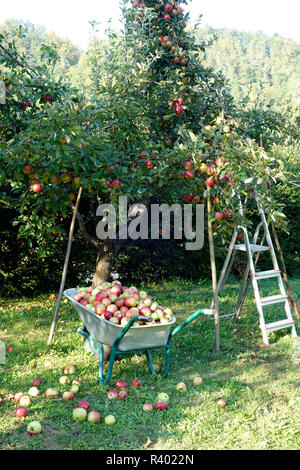 Newly harvested apples in a wheelbarrow in the orchard. - Stock Image