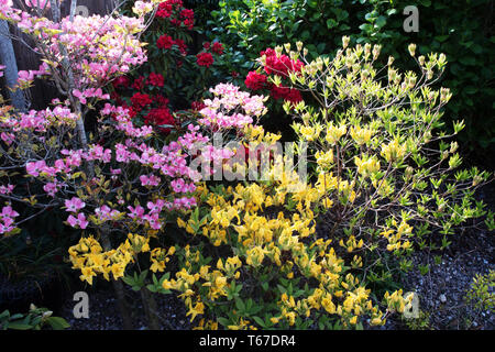 Red rhododendron, yellow azaleas and Cornus florida 'Cherokee Sunset' - Stock Image