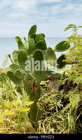 Prickly Pear Cactus, Opuntia ficus-indica - Stock Image