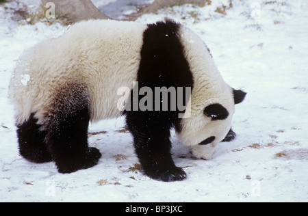 Giant panda sniffs snow-covered ground at Wolong China in winter. - Stock Image