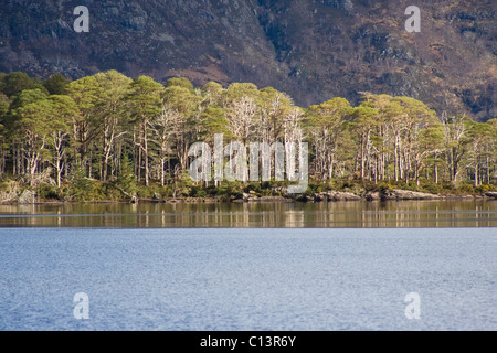 Caledonian Scots pine trees on Loch Maree Islands - Stock Image