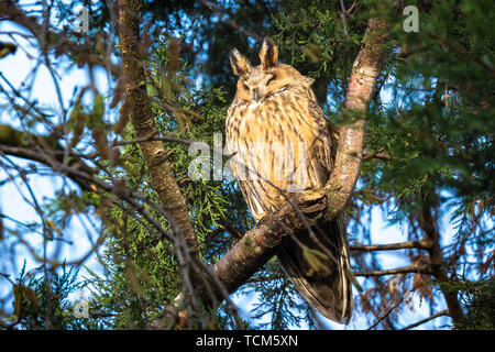 Long eared owl Asio otus bird of prey perched and resting in a tree. winter daytime colors facing camera. - Stock Image