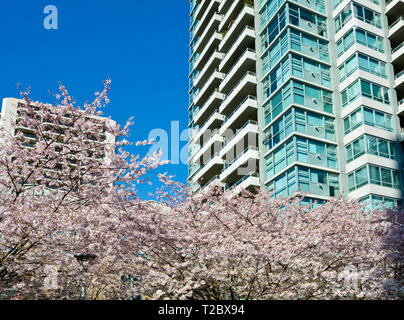 Apartment buildings with blooming cherry blossom trees in Metro Vancouver (Burnaby), BC, Canada. - Stock Image