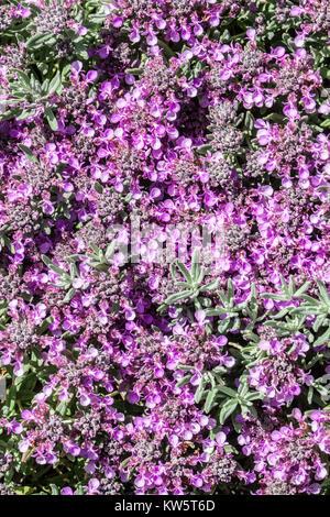 Teucrium ackermannii - Stock Image
