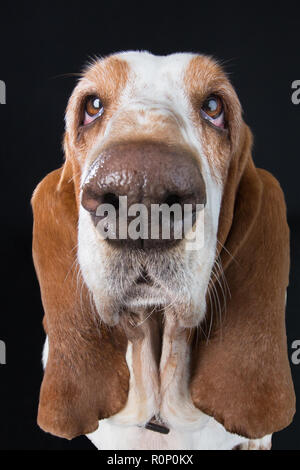 Wide-angle close-up of a sad-looking  Basset Hound staring into camera - Stock Image