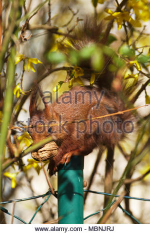 Eurasian red squirrel (Sciurus vulgaris)  eating a walnut - Stock Image