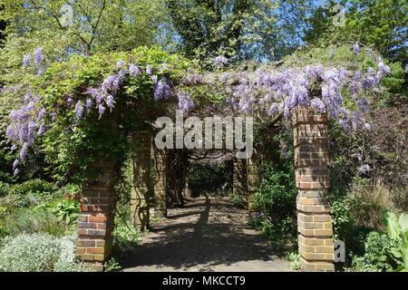 Wisteria, Ada Salter Memorial Rose Garden, Southwark Park, London, UK - Stock Image