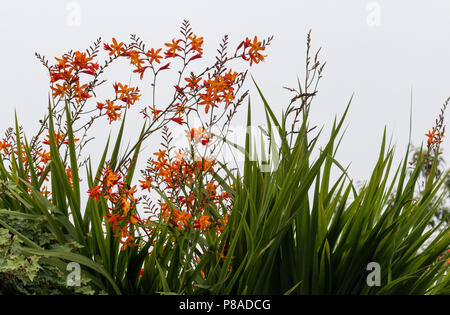 Red and orange Crocosmia flowers, also called Falling Stars - Stock Image