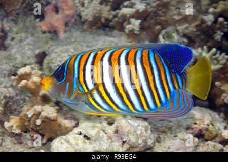 Regal Angelfish, Pygoplites diacanthus, swimming over coral reef. Also known as Royal Angelfish. Uepi, Solomon Islands. Solomon Sea, Pacific Ocean - Stock Image