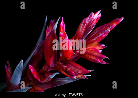 red bromelia bloom in Colombia - Stock Image