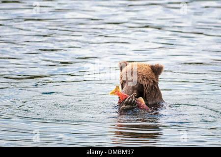 Grizzly Bear eating salmon, Ursus arctos horriblis, Brooks River, Katmai National Park, Alaska, USA - Stock Image