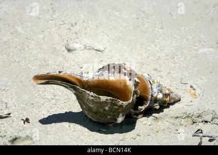 Conch Shell on beach, Holbox island, Quintana Roo, Yucatán Peninsula, Mexico, - Stock Image