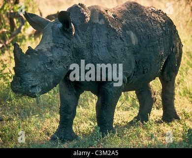 White rhino Ceratotherium simum covered in mud Kruger South Africa - Stock Image