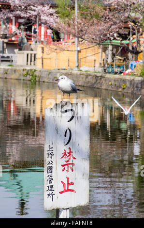 Seagull sitting on a 'No Fishing' sign on Shinobazu Pond, Ueno Park, Tokyo with another one in flight. - Stock Image
