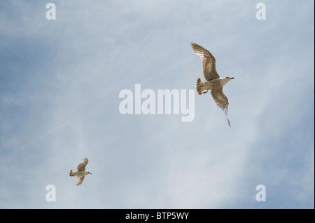 Seagulls flying, Devon, UK. - Stock Image