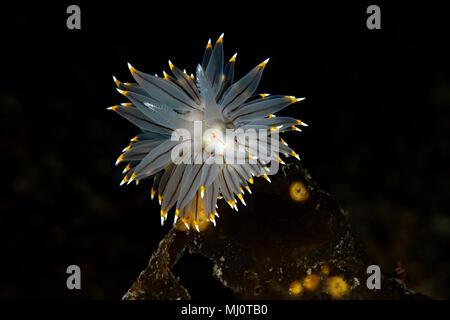 Janolus fuscus - Stock Image
