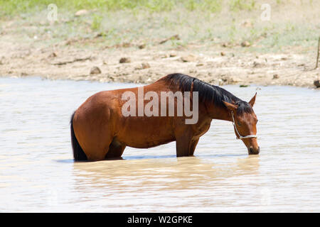 Horse drinkg from farm dam - Stock Image