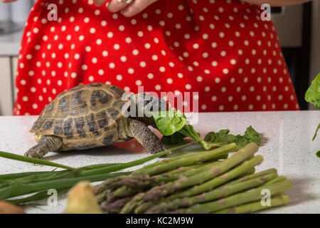 Cute tortoise feasting on salad - Stock Image