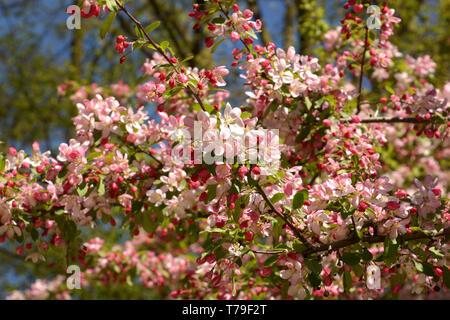 japanese flowering crabapple branches in bloom, malus floribunda or japenese crab or purple chokeberry in spring - Stock Image