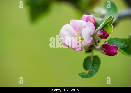 Apple blossom close up background - Stock Image