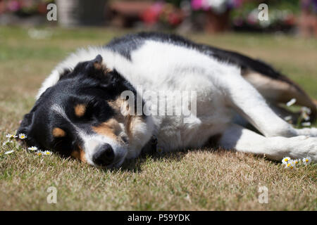 Collie dog enjoys the sunshine asleep on the sun.  Hindhead, UK. 26th June, 2018. - Stock Image