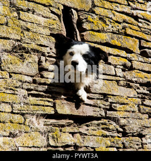 Dog in the wall - Stock Image