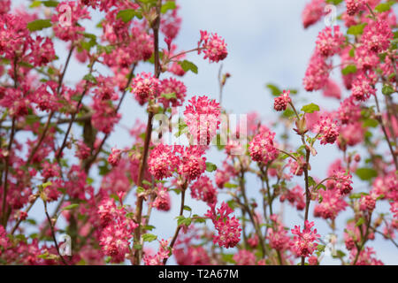 Ribes sanguineum. Flowering currant in early spring. - Stock Image