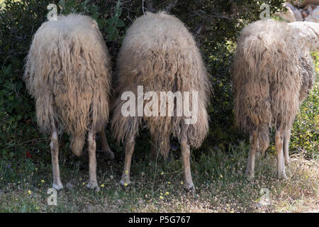 Three Male Mountain Sheep Eating Olive Leaves From Behind, Saronida, Greece. - Stock Image