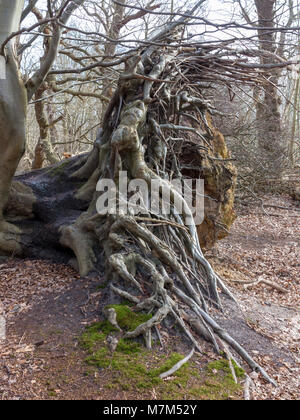 Ancient fallen tree with extensive root bole exposed - Stock Image