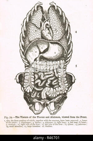 Viscera of the Thorax and Abdomen,viewed from the front.  A 19th century diagram - Stock Image